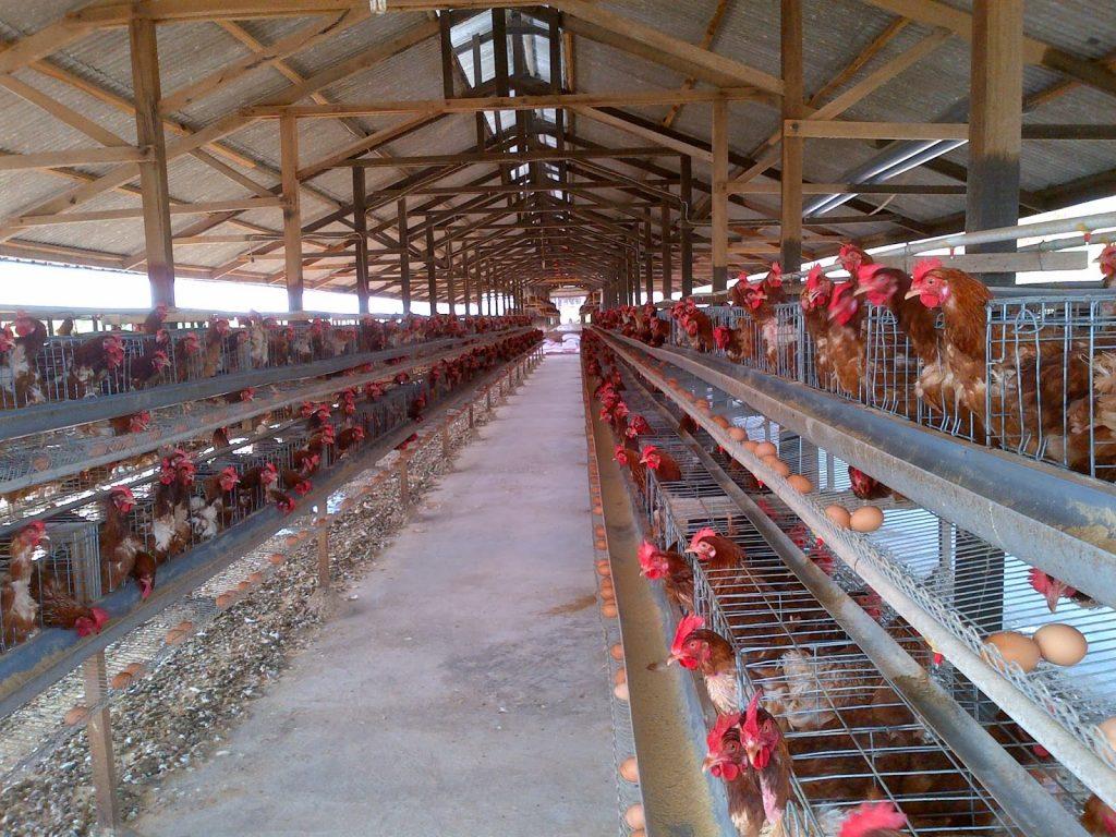 bisnis ayam petelur